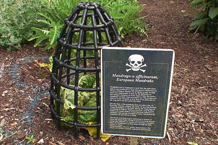 Мандрагора растение-убийца